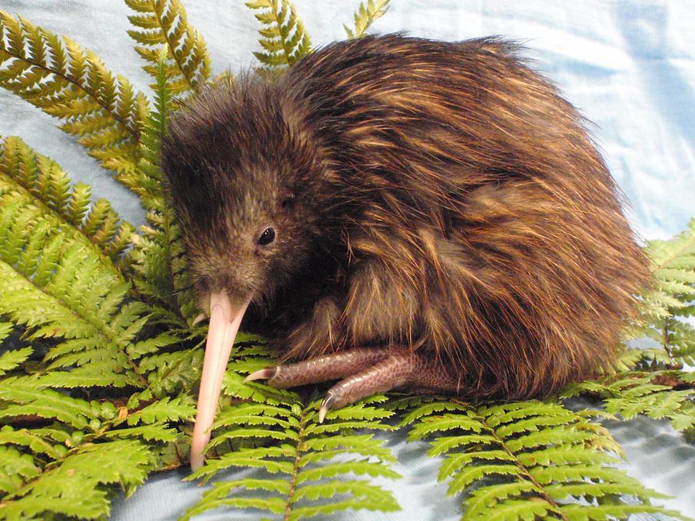 Птица киви, Новая Зеландия. Туры в Новую Зеландию. Гид в Новой Зеландии