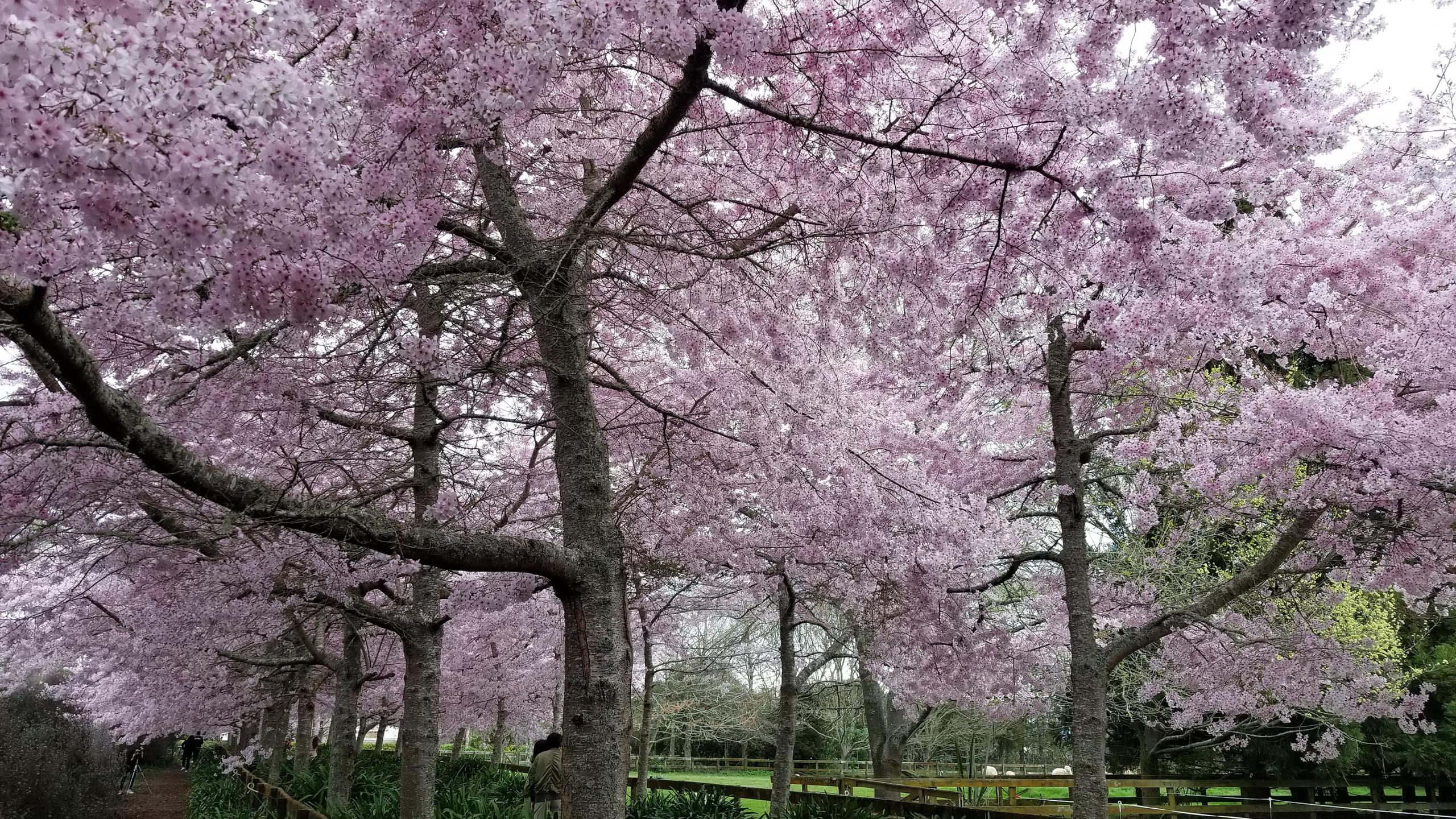 Cherry blossom festival, Hamilton, New Zealand attractions, New Zealand activities