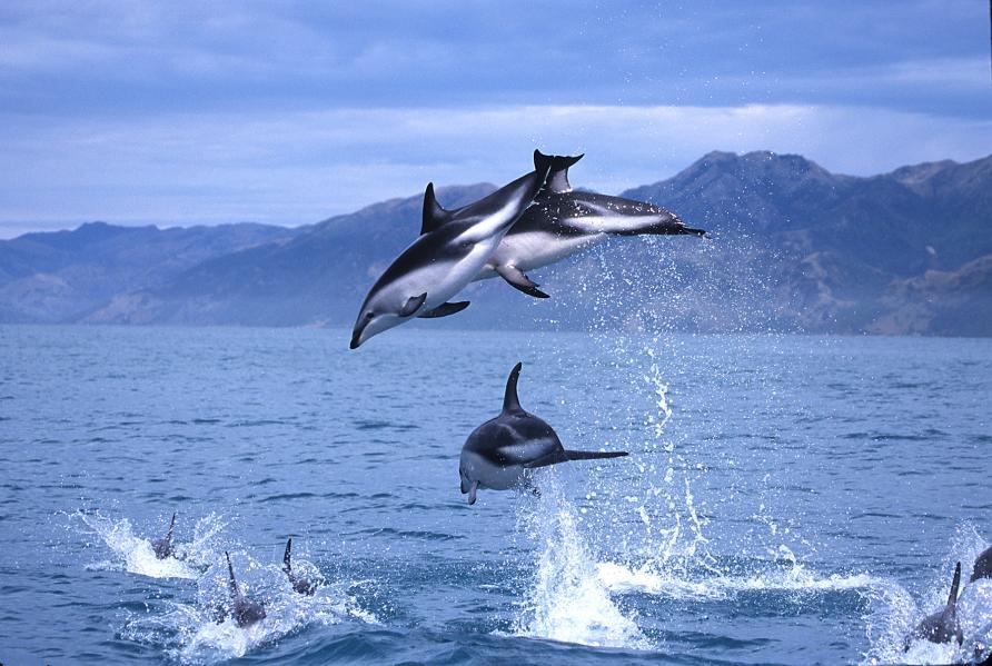 Dolphins, Kaikoura, New Zealand activities, New Zealand tours