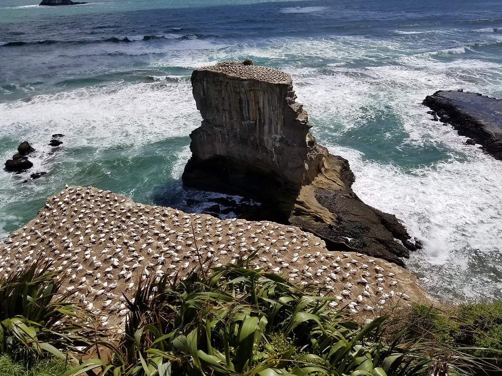 Muriwai beach gannet colony near Auckland New Zealand