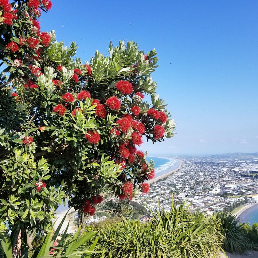 Pohutukawa blossom Mt Maunganui New Zealand