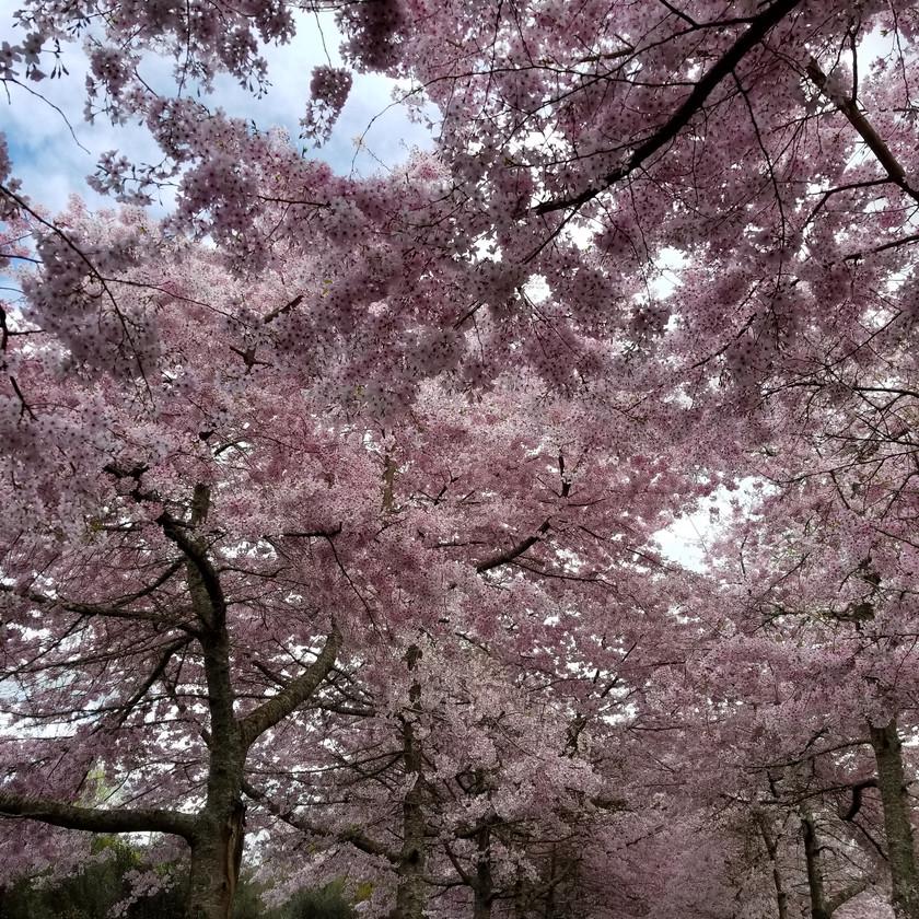 Cherry blossom festival Hamilton New Zealand