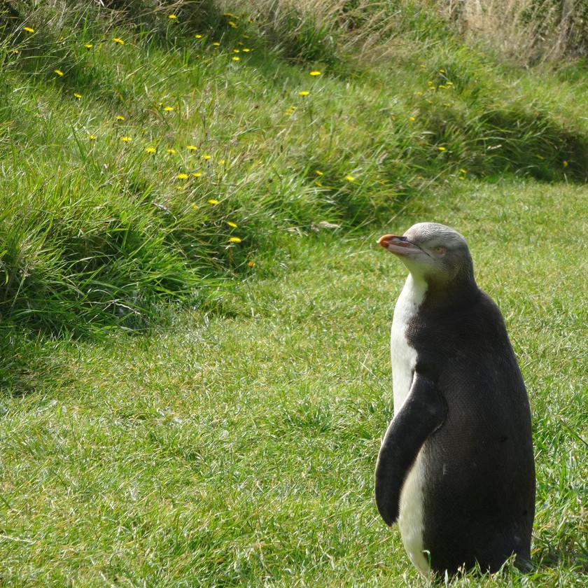 Наблюдение за пингвинами. Экскурсии в Новой Зеландии.