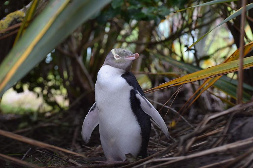 Желтоглазый пингвин, Новая Зеландия. Туры в Новую Зеландию. Гид в Новой Зеландии.
