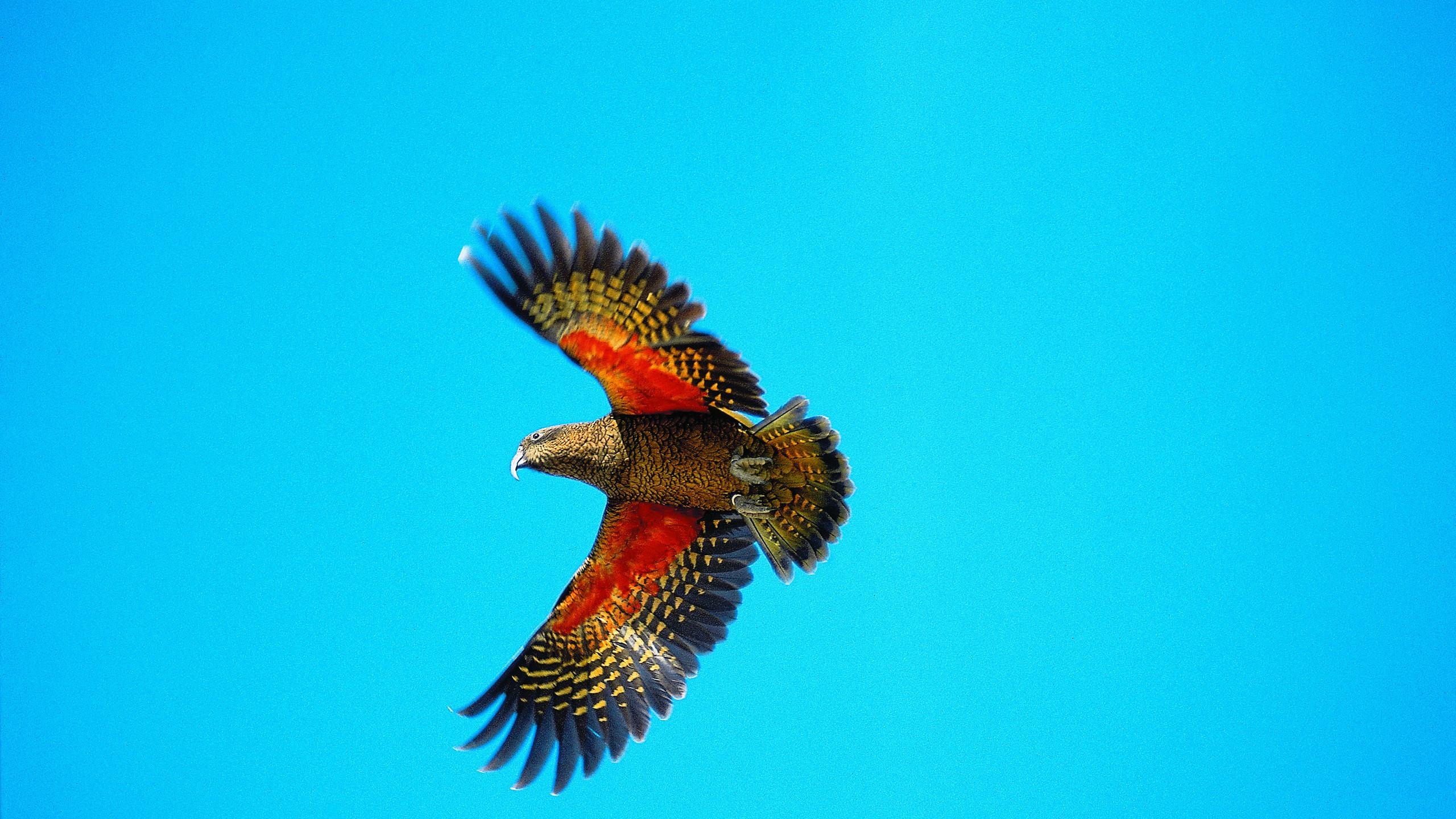 Kea parrot in Arthur's Pass National Park New Zealand