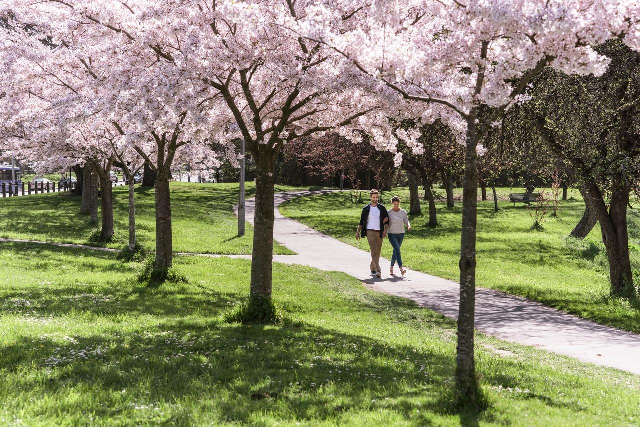 Cherry blossom Christchurch, New Zealand activities, New Zealand tours