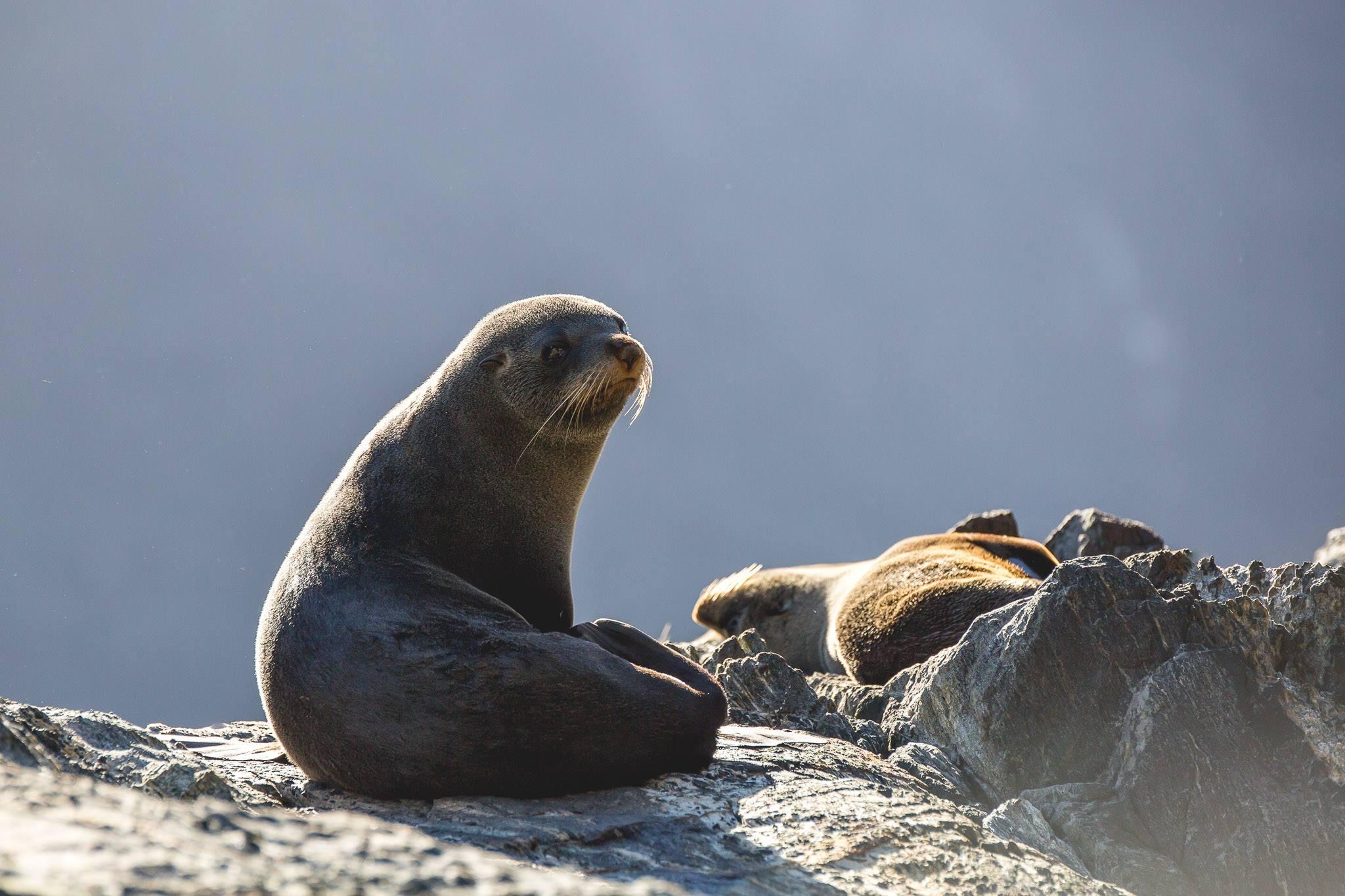 Fur seal in Fiordland, New Zealand attractions, New Zealand activities