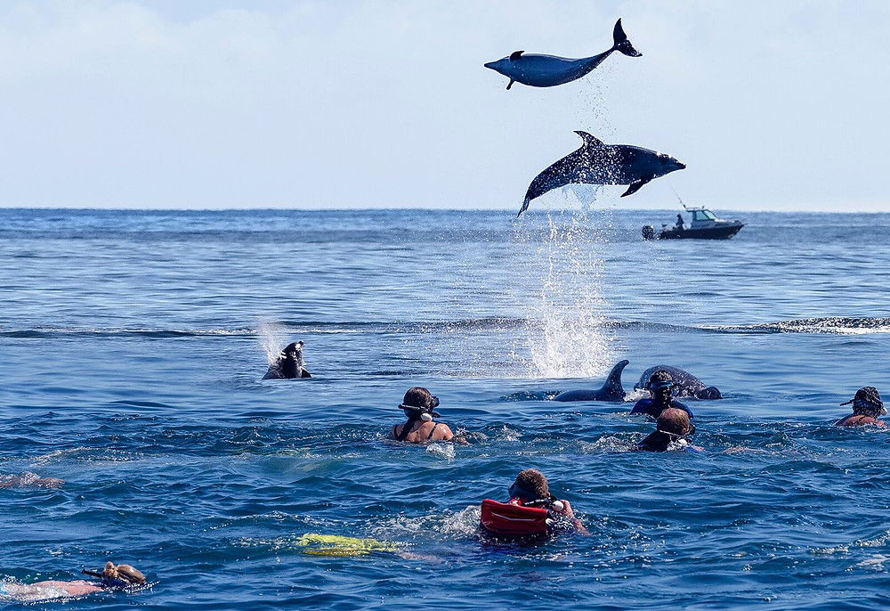 Swimming with dolphins iin Bay of Islands New Zealand