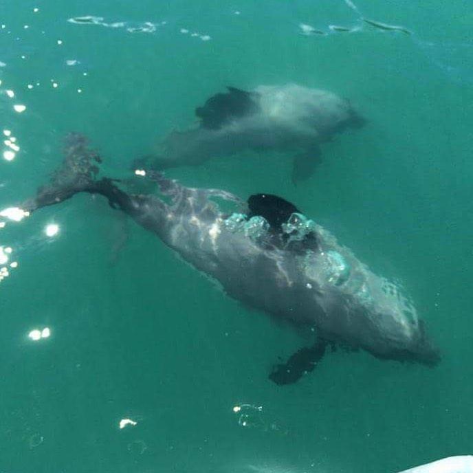 дельфины Гектора в бухте Акароа, Новая Зеландия. Туры в Новую Зеландию.