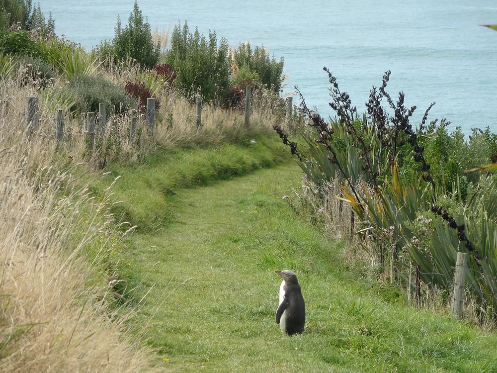 Желтоглазый пингвин, Новая Зеландия. Туры в Новую Зеландию.