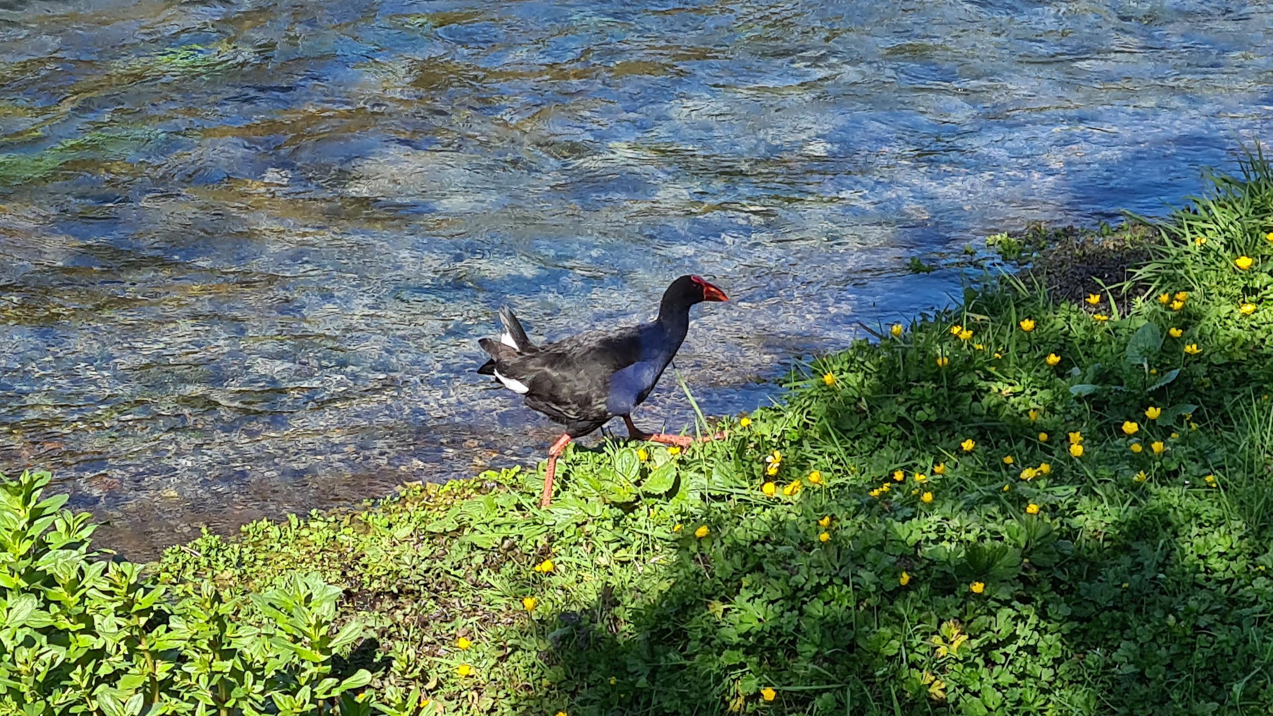 Pukeko bird