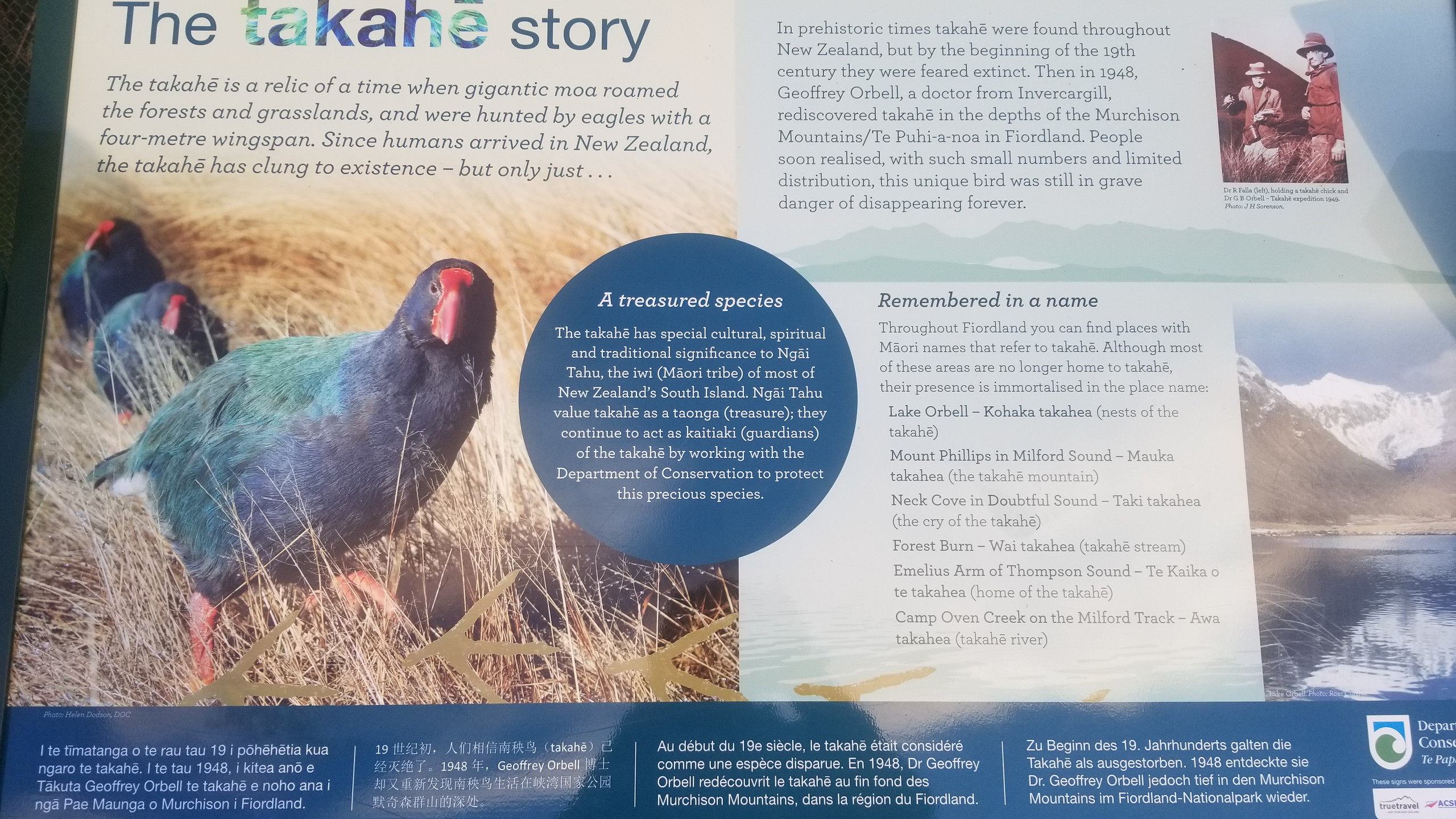 Takahe bird, Te Anau town, New Zealand attractions, New Zealand activities