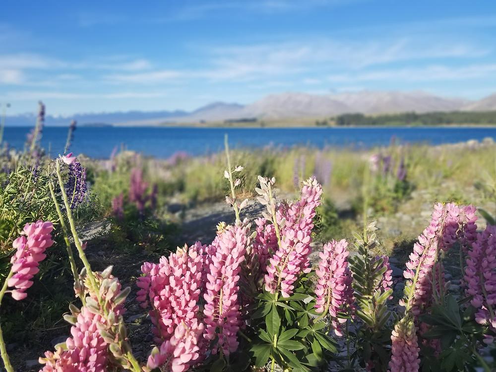 Озеро Текапо, Новая Зеландия. Туры в Новую Зеландию.