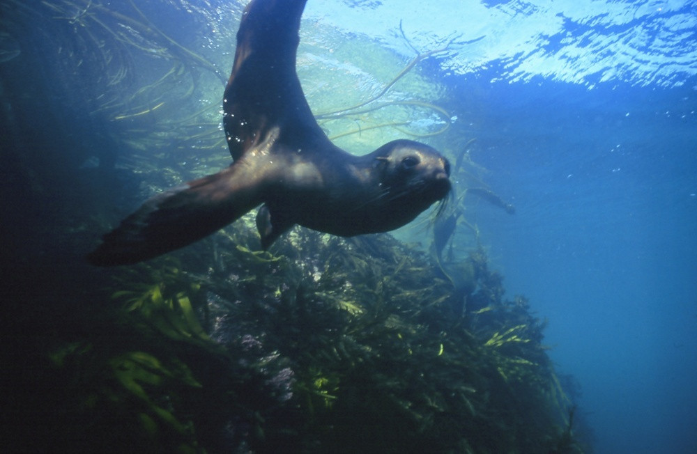 плавание с морскими котиками, Новая Зеландия, туры в Новую Зеландию