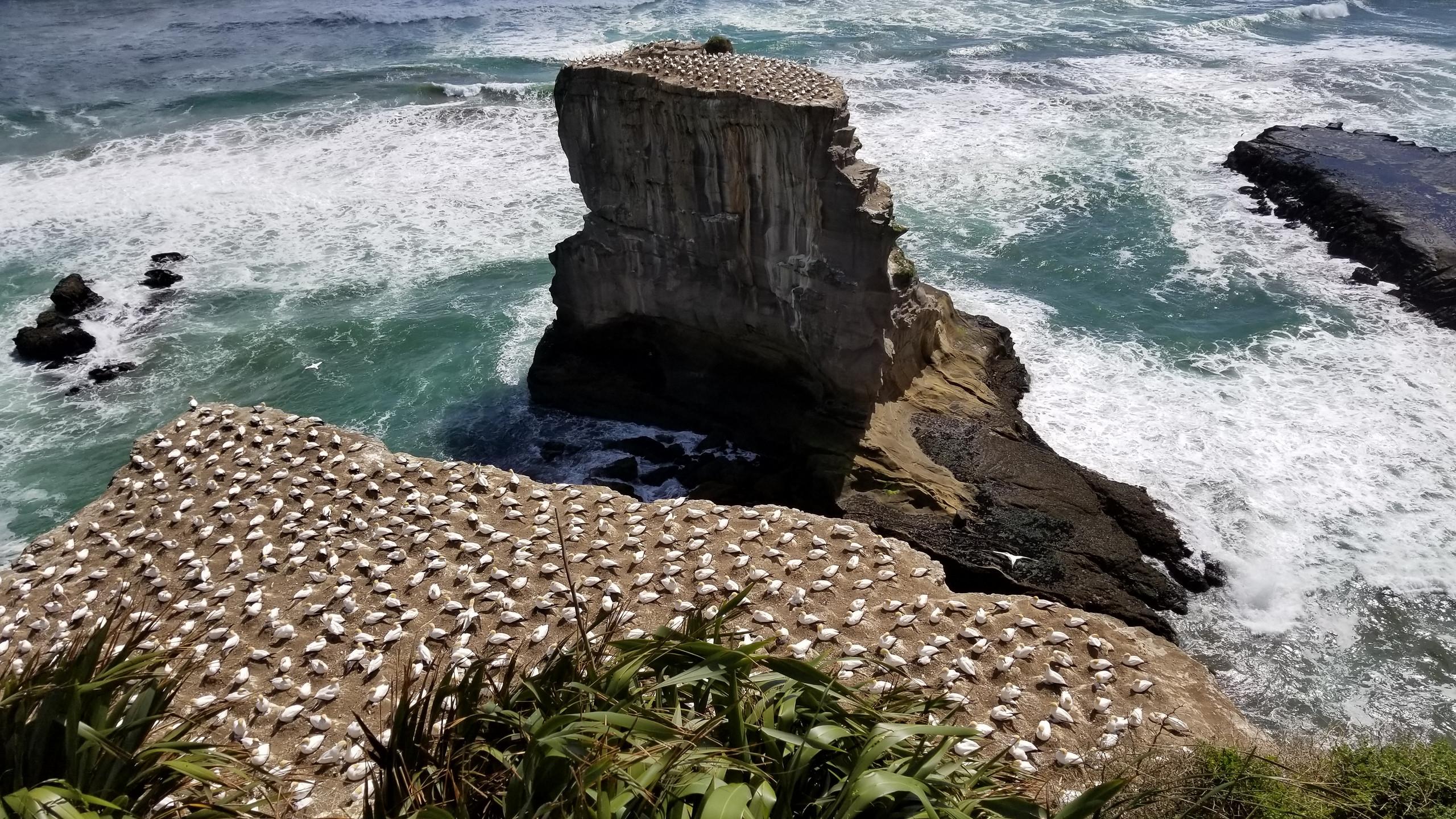 Пляж Муривай, колония птиц ганнетов, Окленд, Новая Зеландия