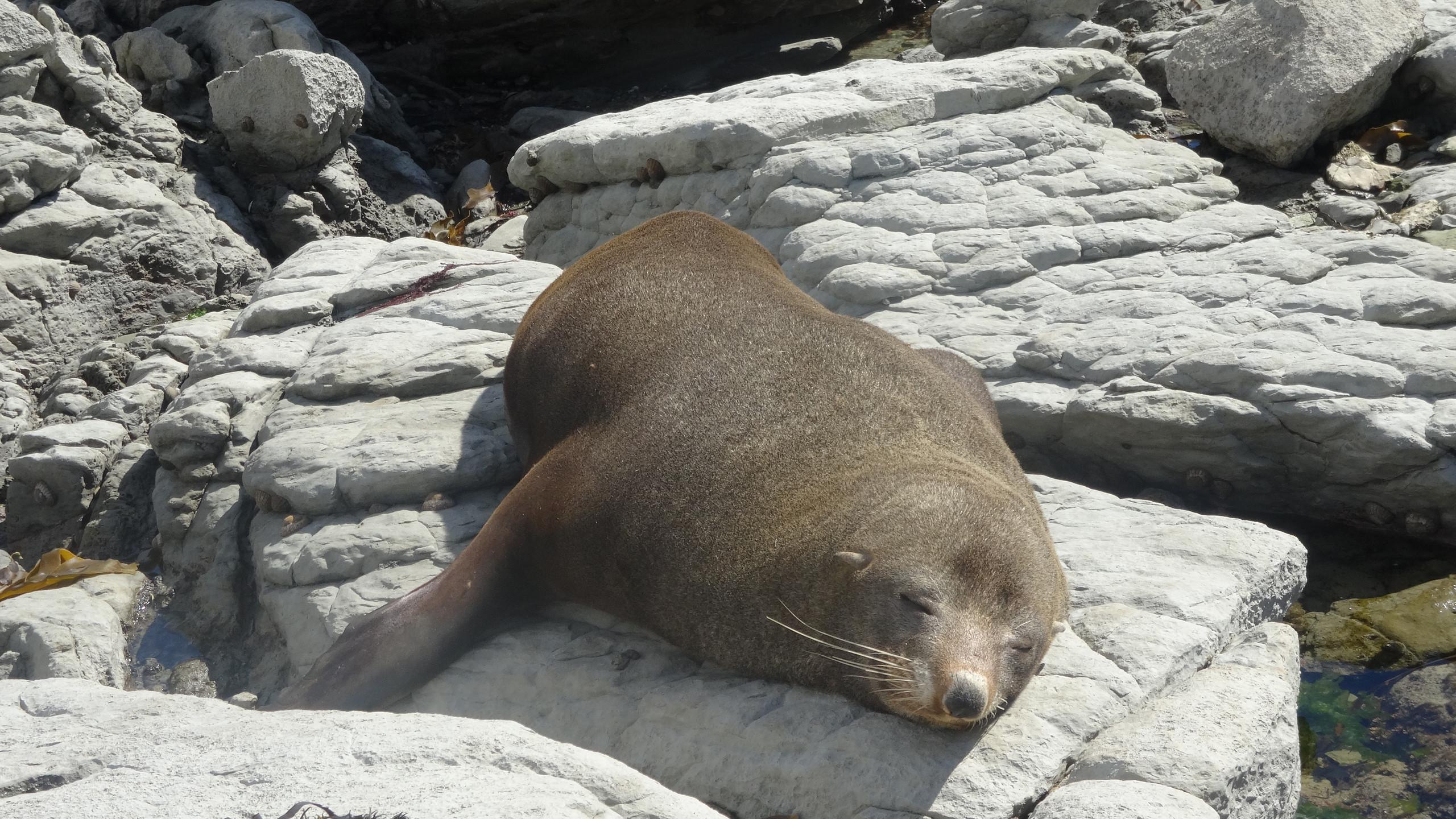A fur seal in Kaikoura, New Zealand activities, New Zealand tours