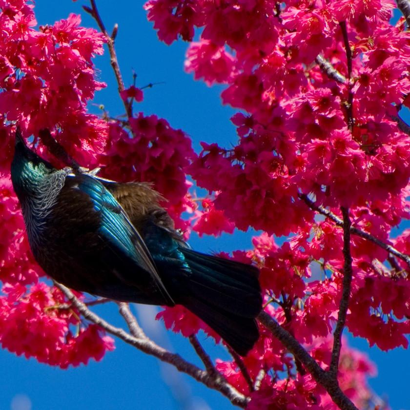 Tui bird in New Zealand