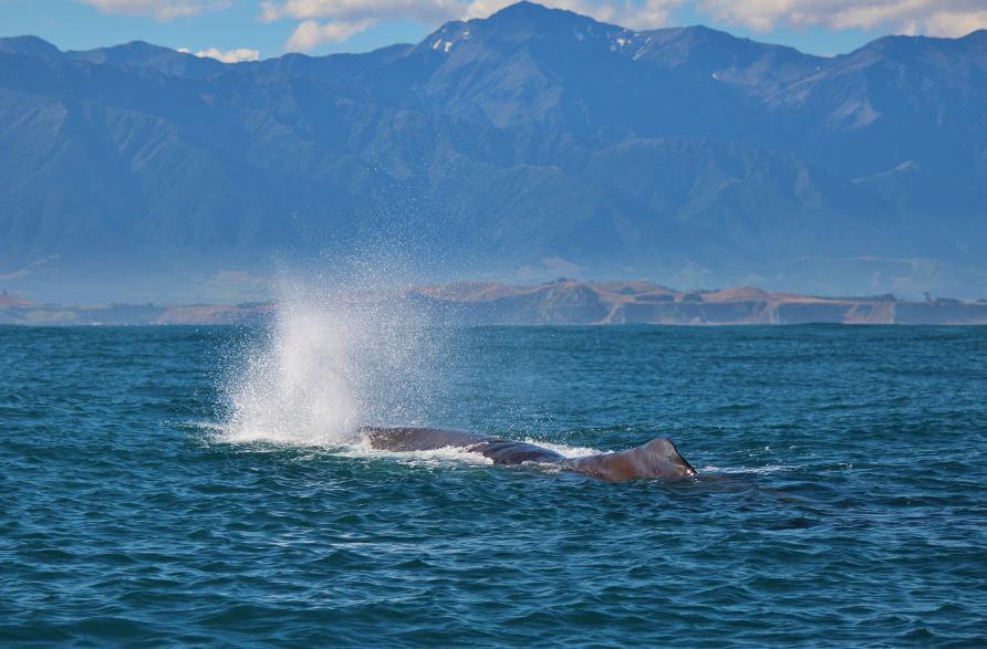 Наблюдение за китами, Кайкоура, Новая Зеландия. Туры в Новую Зеландию. Гид в Новой Зеландии.