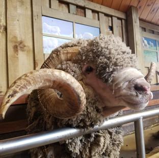 Шоу Стрижка овец, Агродом, Роторуа