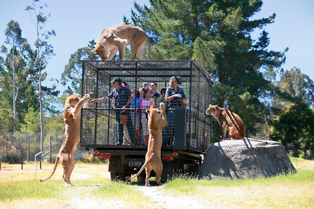 львы, Орана парк, Крайстчерч, Новая Зеландия, туры в новую Зеландию