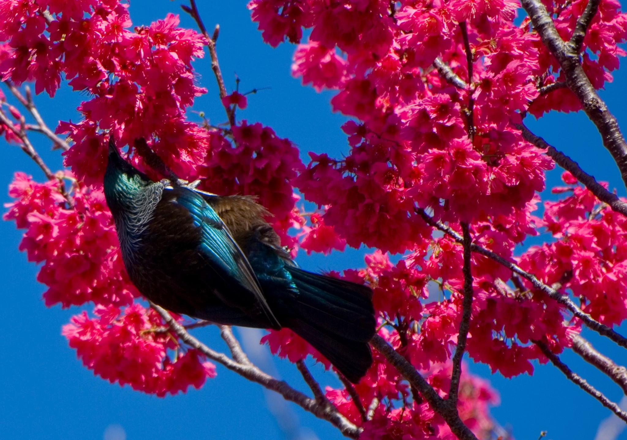 Tui on Waiheke island, Auckland, New Zealand attractions, New Zealand activities