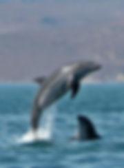 delfines la paz pensinular digital.jpg