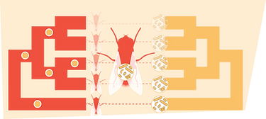 1_Fly_phylosymbiosis.png