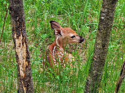 A Fawn Behind One of the Campers