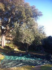Olive picking | Pego Ferreiro | Portugal