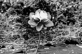 white-lotus-3700436_1920.jpg
