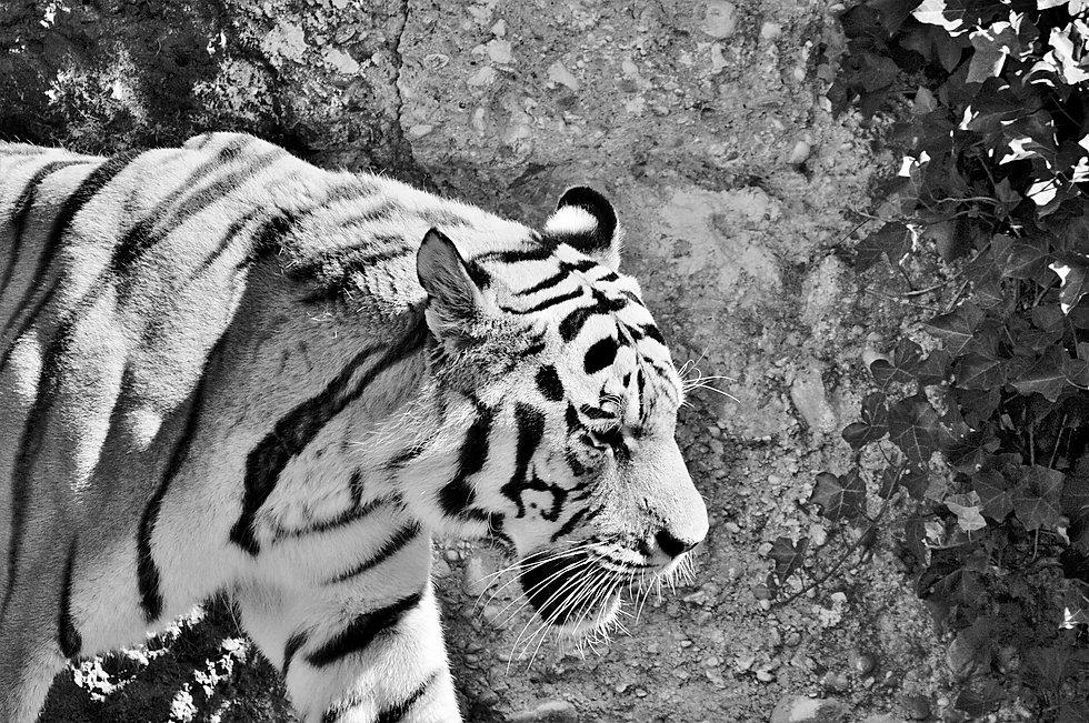 tiger-2535577_1920.jpg