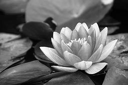 water-lily-1641032_1920.jpg