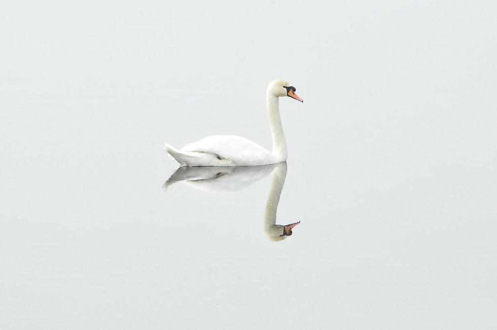 swan-293157_1920.jpg