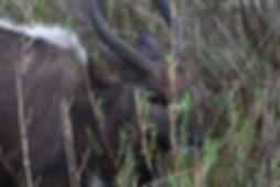 Landela Safaris - Nyala