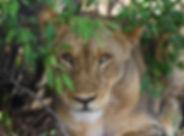 Landela Safaris - Lioness