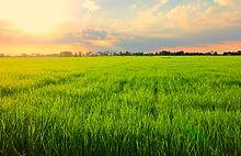 Rice padi field senja.JPG