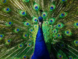 "Peacock ""Plumage"""