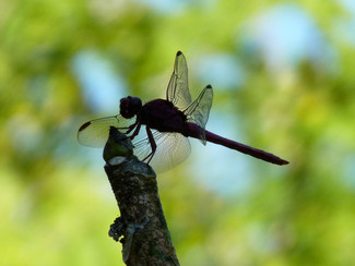 "Dragon fly ""Wings"""