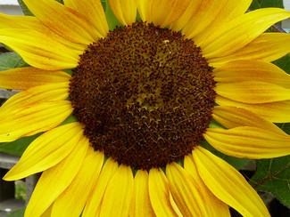 """Sunflower """"Golden Fields"""""""