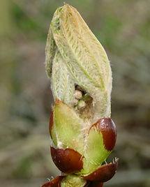 Chestnut Bud-Aesculus hippocastanum.jpg