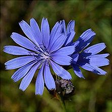 Chicory - Cichorium intybus.jpg