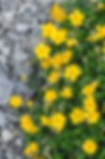 Rock-Rose-Helianthemum-nummularium.jpg