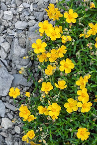 Rock-Rose-Helianthemum-nummularium.jpg