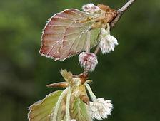 Beech (Fagus sylvatica).jpg