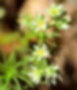 Scleranthus annuus.jpg