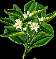 bergamota-planta-oleo.png