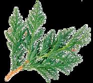 arborvitae-planta.png