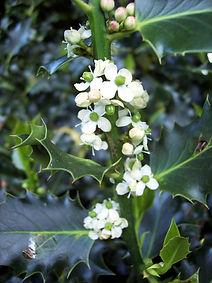 Holly Ilex aquifolium.jpg