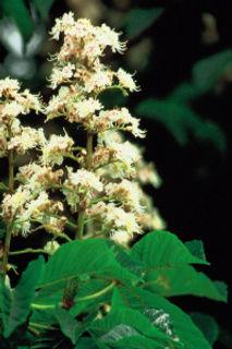 White Chestnut Aesculus hippocastanum.jp