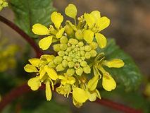 Mustard Sinapis arvensis.jpg